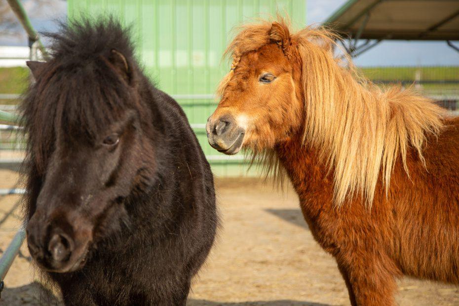 Shettland Ponys